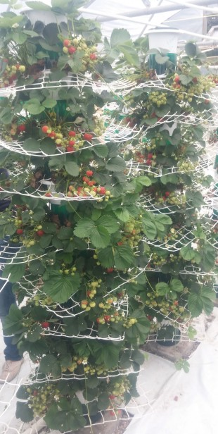 Strawberries growing on the Saturn Grower System