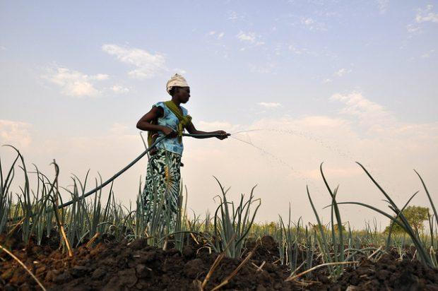 African farmer watering crops
